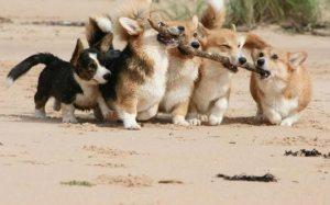 Teamwork Corgis